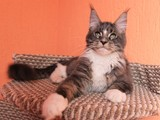The kitten is sold Maine Coon