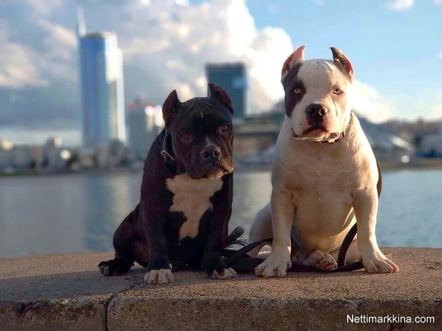 For sale American Bully Puppies, 1 500 €, Belarus, Outside