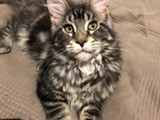 Maine coon silver poika