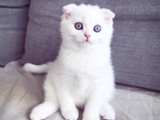Scottish Fold kissanpentu