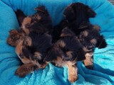 Yorkshire terrier puppies ready for