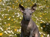 XOLOITZCUINTLE Puppies