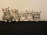 Scottish fold ja Scottish strauhat