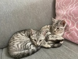 Two male baby cats 3 months old